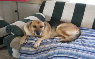 Image Of Big Dog On Sofa